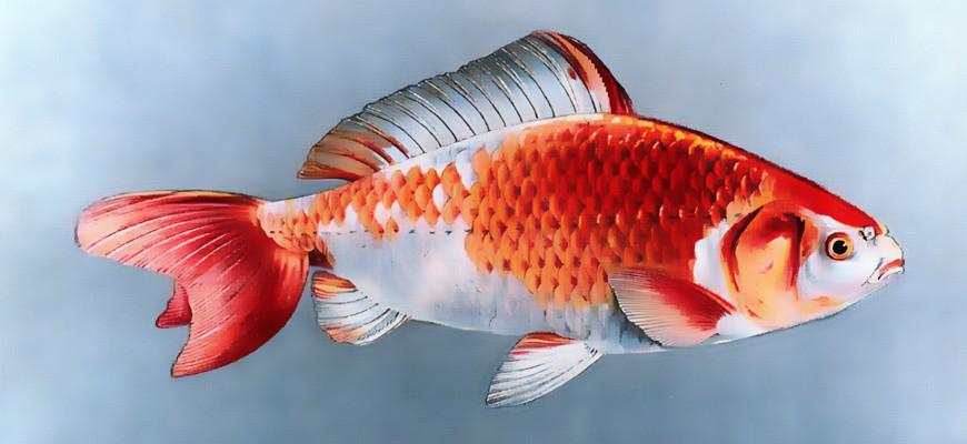 Рыбка Вакин