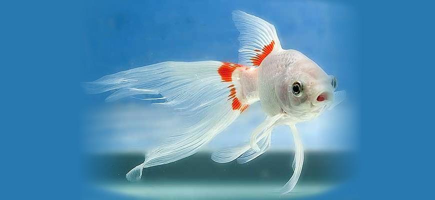 Рыбка Комета